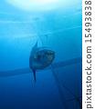 固定網 魚 翻車魚 15493838