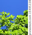 신록, 푸른, 녹색 15495338