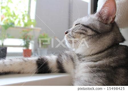 美国短毛猫 睡午觉 午睡 15498425