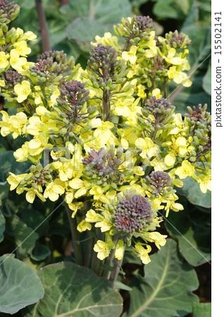 Purple cauliflower flowers