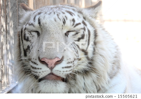 白老虎 15505621