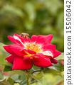 꿀벌과 붉은 꽃 15506042