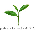 차의 잎 15506915