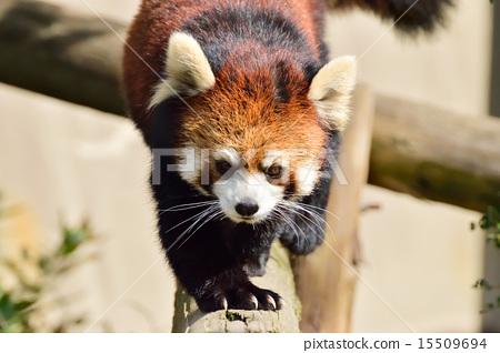 후쿠오카시 동물원 레서 팬더 15509694