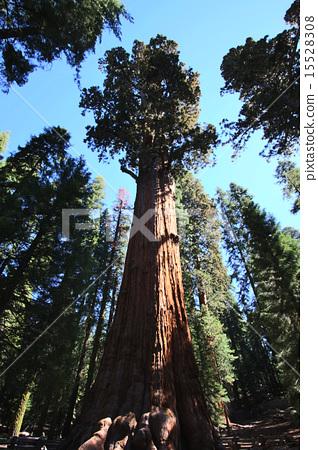 紅杉國家公園地面上最大的薩滿樹,巨型森林的巨樹 15528308