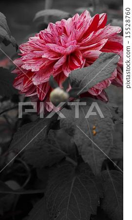 Oihihana,Ohihana,花,聚焦顏色 15528760