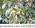 나무에 生っ있는 도토리 15530838