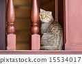 domestic, tabby, home 15534017