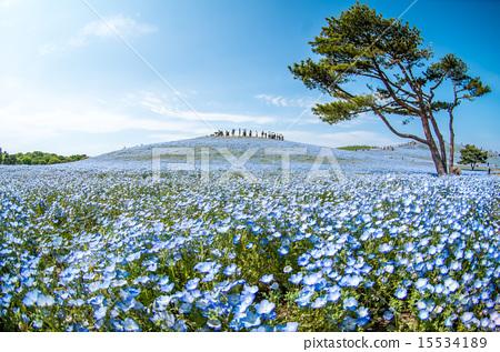 Nemophila and blue sky 15534189