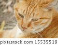 cat in wild 15535519