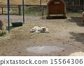 羔羊在休息 15564306