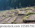 rice, field, paddy 15585792