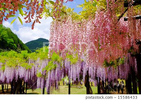 桃紅色紫藤花 15586433