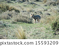 grey fox hunting on the grass 15593209