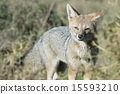 grey fox hunting on the grass 15593210