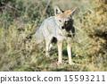 fox hunting grass 15593211