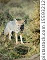 grey fox hunting on the grass 15593212