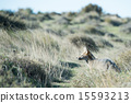 grey fox hunting on the grass 15593213