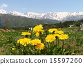 dandelion, northern, alps 15597260