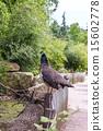 guinea, fowl, africa 15602778