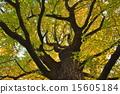 树 树木 银杏 15605184