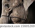 주름, 코끼리, 짐승 15605269