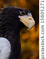 Steller's Sea Eagle, avian, animal 15605271