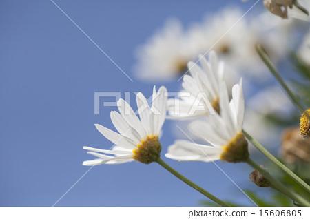 花卉 15606805