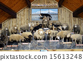 Various kinds of sheep lined up at sheep show 15613248