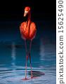 火烈鳥 美麗 漂亮 15625490