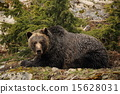 grizzly, bear, brown 15628031