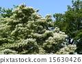 ナンジャモンジャの木と緑と青空 開花 白い花 15630426