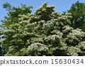 꽃, 흰색, 개화 15630434