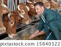 牛 農民 農夫 15640322