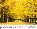 은행나무 가로수, 쇼와 기념 공원, 가을 15650551