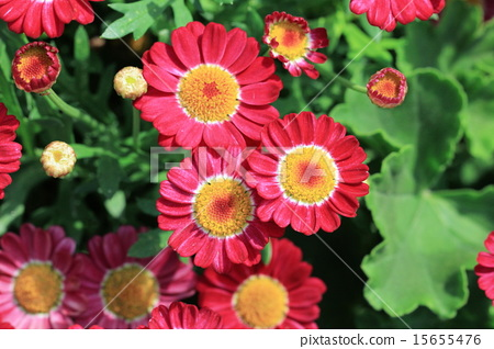 紅色瑪格麗特花 15655476