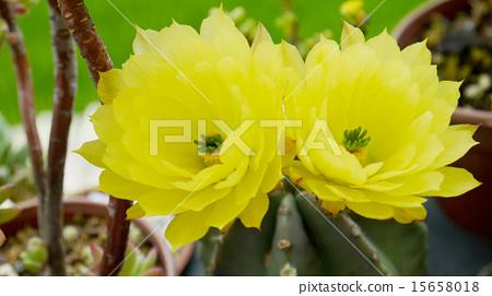 禮儀,開花,大佛,多汁,耐旱,淡黃色,夏日的天空 15658018