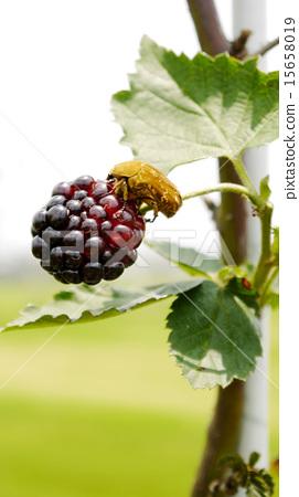 金龜子, 昆蟲, 歐洲 黑莓, 요코 배경 소재 15658019