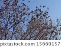Starlings 15660157