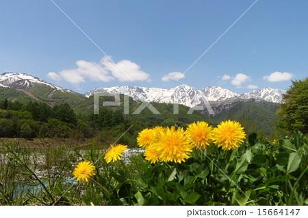 dandelion, naturals, natural 15664147