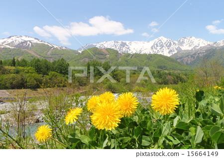 dandelion, naturals, natural 15664149