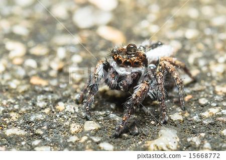 Jumping Spider 15668772