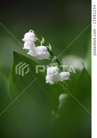 Lily of the valley 15681234