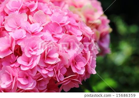 绣球花chikushi红宝石(来自福冈县的绣球花) 15686359
