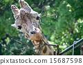 후쿠오카시 동물원의 기린 15687598