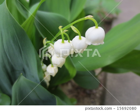 lily of the valley, convallaria, bloom 15692080