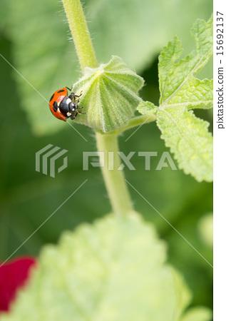 Ladybug (vertical position) 15692137
