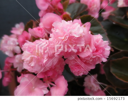 Light Pink, bloom, blossom 15692173