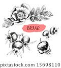 Briar. Wild rose 15698110