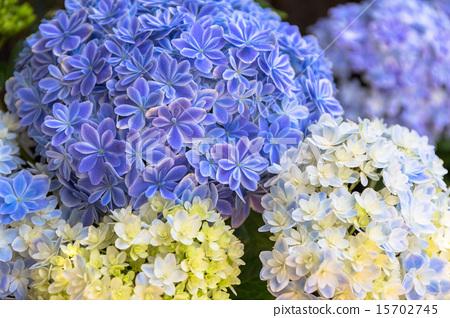 수국 꽃의 만화경 15702745